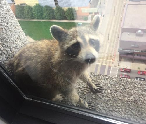 Msp-raccoon